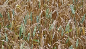 Breeding small grain cereal crops in a climate change scenario, Zaragoza (Spain)